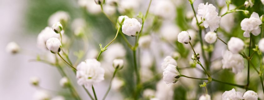 Babys breath buddy burst much loved by florists and flower arrangers gypsophila or babys breath is well known for its delicate sprays of tiny white flowers the name derives mightylinksfo