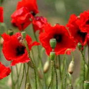 poppy seeds for remembrance day