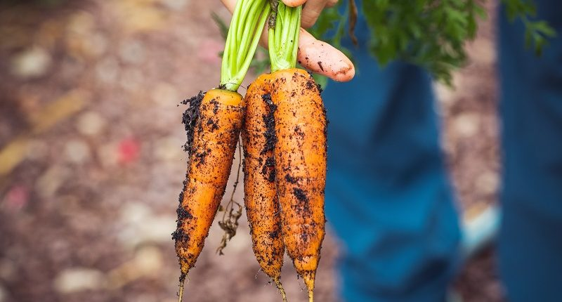 Growing own carrots- bunch being pulled from the ground